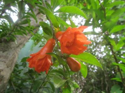 ザクロの花のアップ