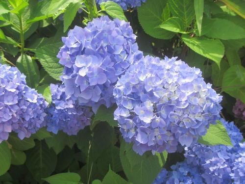 青いアジサイが咲いている様子