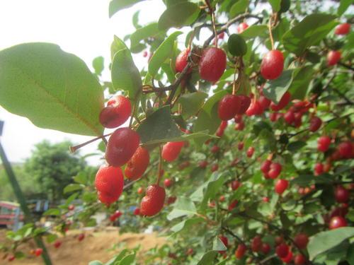 グミの木の実のアップ