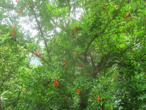 ザクロの木の様子